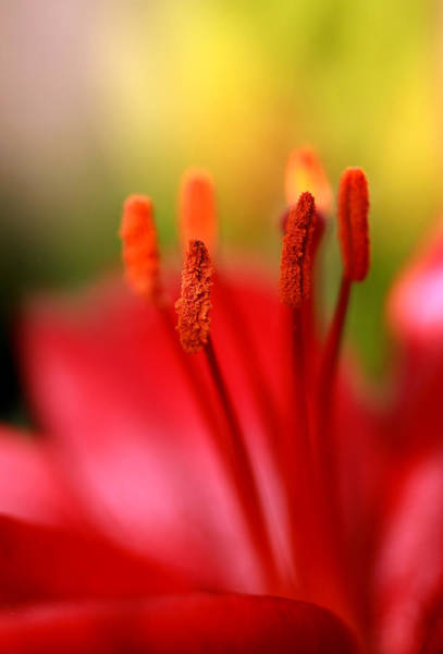 Wall Art - Photograph - Red Lily Abstract One by Tony Ramos