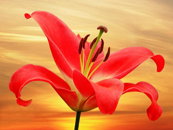 Photograph - Red Lily Dawn by Gill Billington