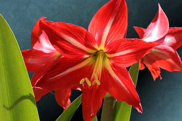 Photograph - Red Amaryllis Flower Trio by Debi Dalio