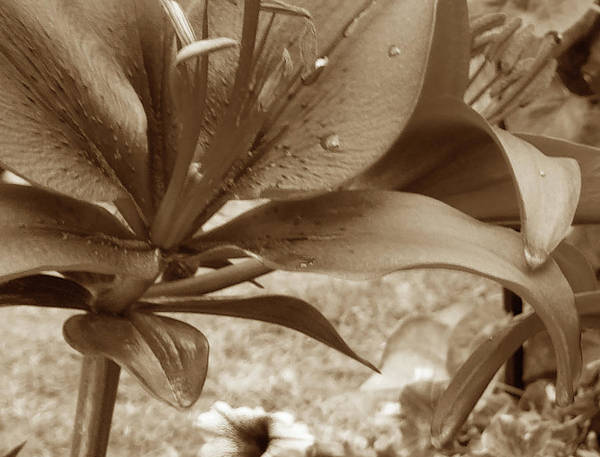 Wall Art - Photograph - Red Lily In  Sepia 2 by Janis Beauchamp