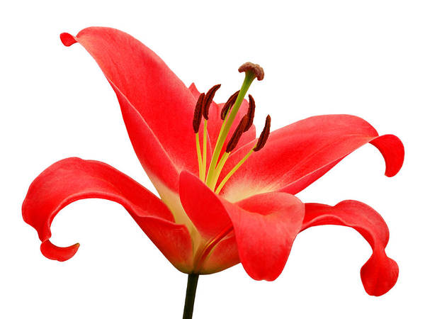 Photograph - Red Lily On White by Gill Billington