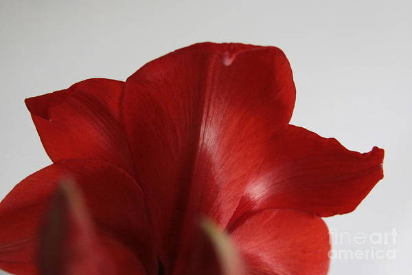 Photograph - Red Lion Amaryllis by Robin Maria Pedrero