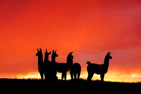 Red Llama Sunset 1 Art Print