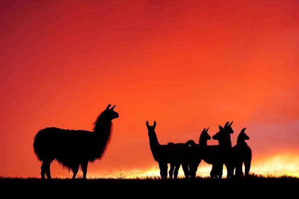 Red Llama Sunset 2 Art Print