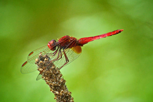 Red Male Dragonfly Crocothemis Erythraea Perching Art Print by Igor Voljch