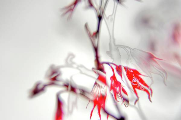 Photograph - Red Maple Detail by Jerry Sodorff
