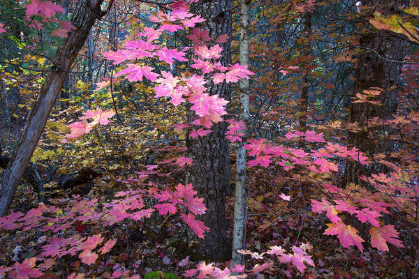 Photograph - Red Maple In Oak Creek Canyon Arizona by Dave Dilli