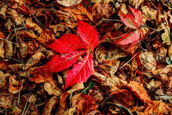 Photograph - Red Maple Leaf by David Matthews
