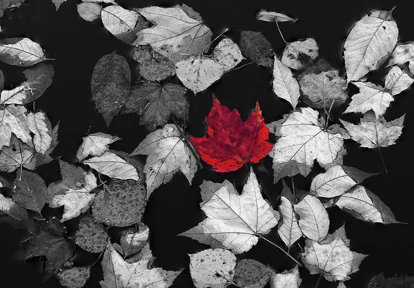 Photograph - Red Maple Leaf by Juergen Roth