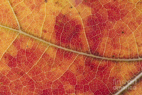 Photograph - Red Maple Leaf by Kenneth M. Highfill