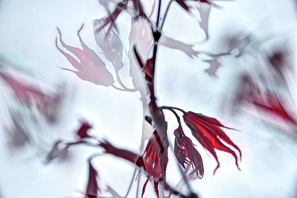 Photograph - Red Maple Leaves by Jerry Sodorff