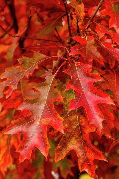 Photograph - Red Maple Leaves by Teri Virbickis