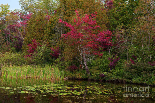 Photograph - Red Maple Over Lily Pads by Les Palenik