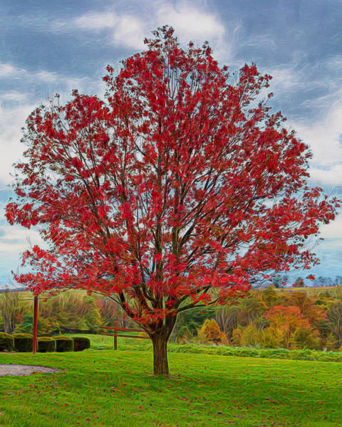 Photograph - Red Maple Tree by John M Bailey