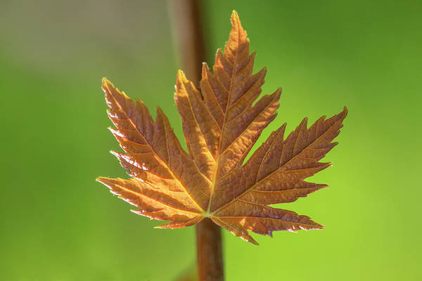 Wall Art - Photograph - Red Maple Tree Leaf by Iris Richardson