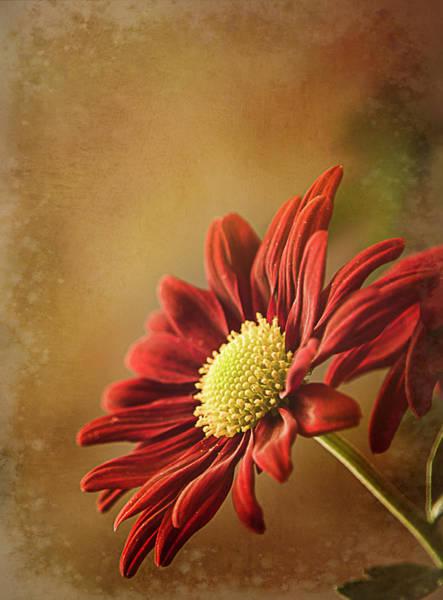 Photograph - Red Mum by Teresa Wilson