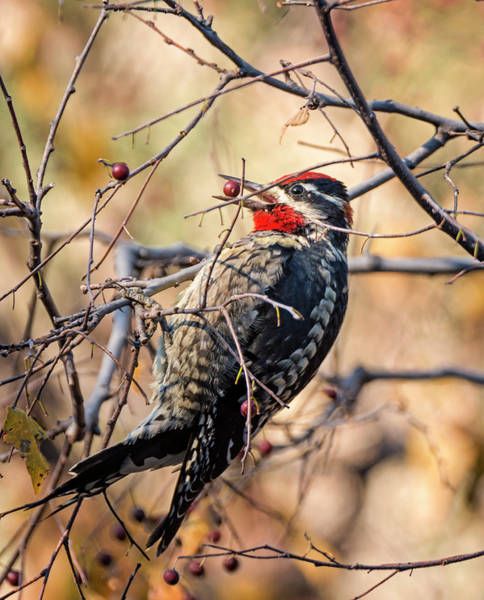 Photograph - Red-naped Sapsucker by Loree Johnson