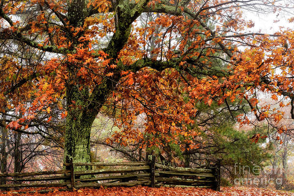 Photograph - Red Oak And Rail Fence by Thomas R Fletcher