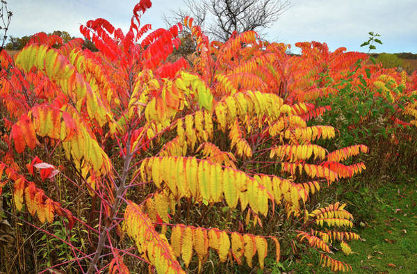Photograph - Red Orange And Gold Sumac At Severson Dells by Ray Mathis