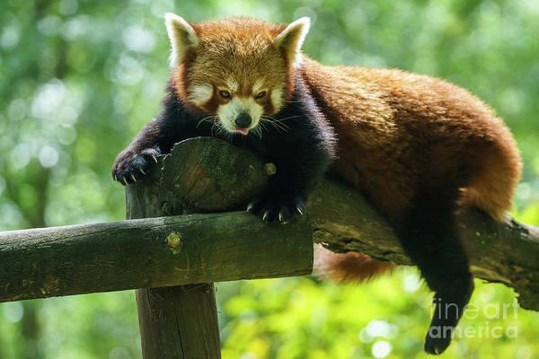 Photograph - Red Panda Ailurus Fulgens Jerez De La Frontera Spain by Pablo Avanzini