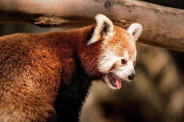 Photograph - Red Panda At National Zoo by Don Johnson