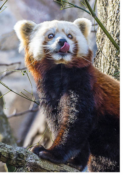 Photograph - Red Panda Licking by William Bitman