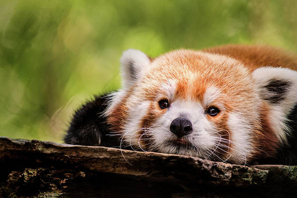 Photograph - Red Panda Stare by Don Johnson