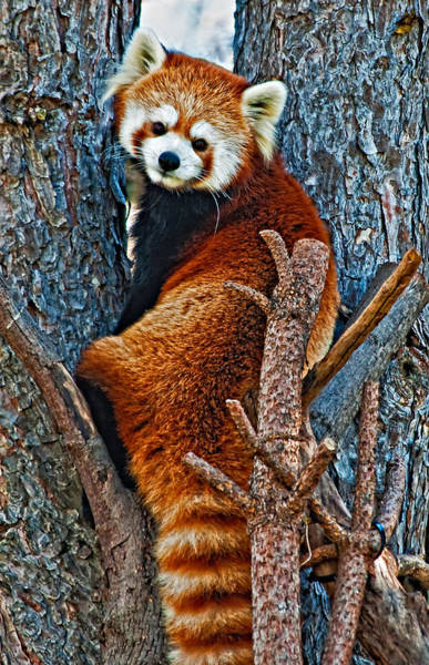 Steve Harrington Wall Art - Photograph - Red Panda by Steve Harrington