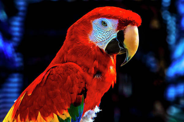 Wall Art - Photograph - Red Parrot Portrait  by Garry Gay