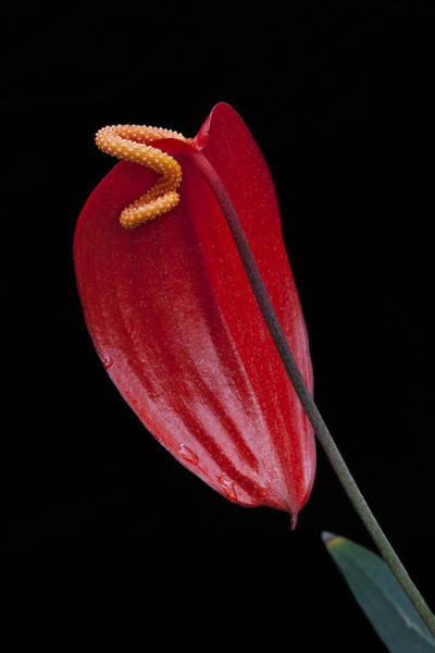 Photograph - Red Peace Lily by Ken Barrett