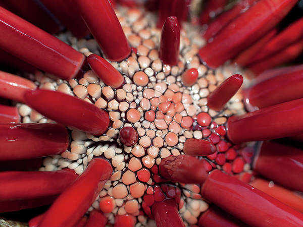 Photograph - Red Pencil Urchin by Christopher Johnson