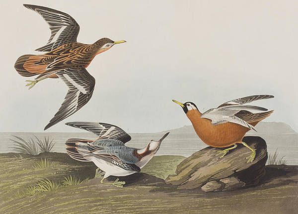 Plate Painting - Red Phalarope by John James Audubon