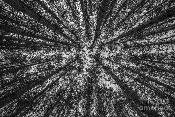 Photograph - Red Pine Tree Tops In Black And White by Sue Smith