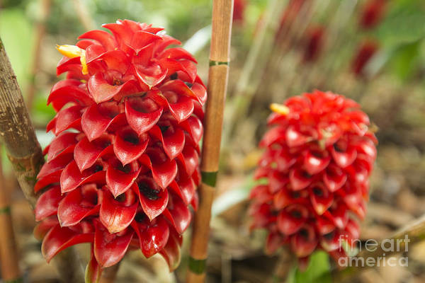 Photograph - Red Pineapple Ginger Plant by Charmian Vistaunet