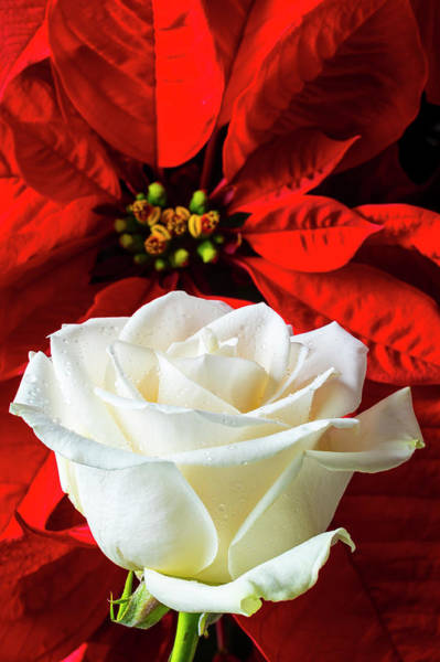Foilage Photograph - Red Poinsettia And White Rose by Garry Gay