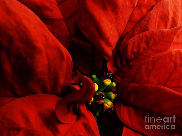 Photograph - Red Poinsettia Floral Art #2 by Robyn King