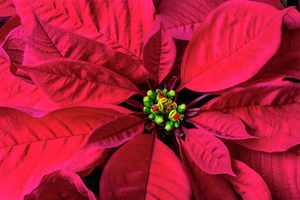 Foilage Photograph - Red Poinsettia by Garry Gay