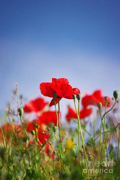 Photograph - Red Poppies by Angela Doelling AD DESIGN Photo and PhotoArt