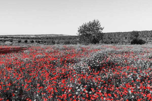 Wall Art - Photograph - Red Poppies In A Monochrome Landscape by Iordanis Pallikaras