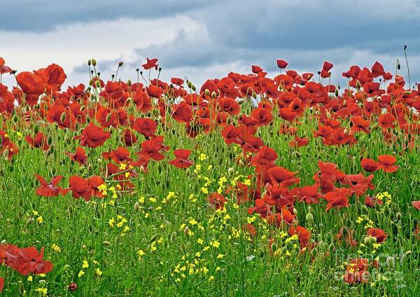 Photograph - Red Poppies by Martyn Arnold