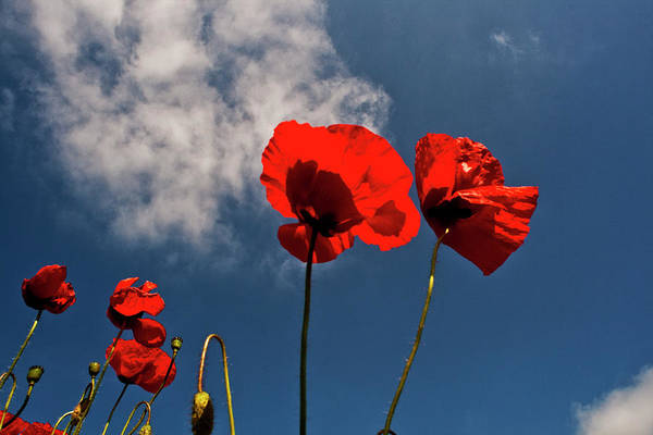 Photograph - Red Poppies On Blue Sky by Heiko Koehrer-Wagner