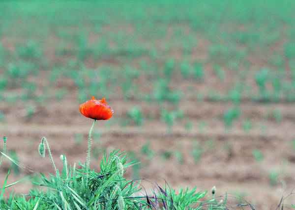 Photograph - Red Poppy by Alexandre Rotenberg