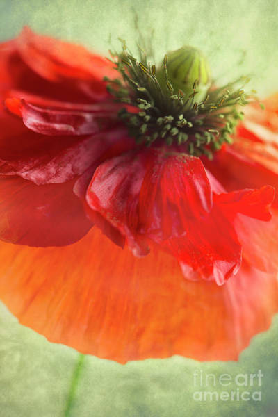 Wall Art - Photograph - Red Poppy by Elena Nosyreva
