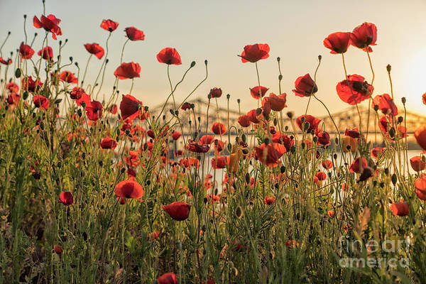 Wall Art - Photograph - Red Poppy Flowers And Natchez Bridge by Patricia Hofmeester
