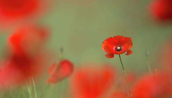 Photograph - Red Poppy by Peter Walkden