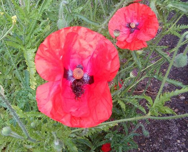 Photograph - Red Poppy Photo 1169 by Julia Woodman