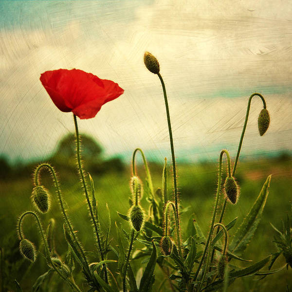 Red Green Photograph - Red Poppy by Violet Gray