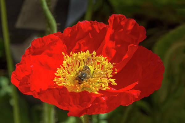 Wall Art - Photograph - Red Poppy With Honey Bee by Iris Richardson