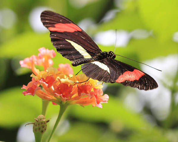 Photograph - Red Postman Butterfly Ready To Fly by Angela Murdock