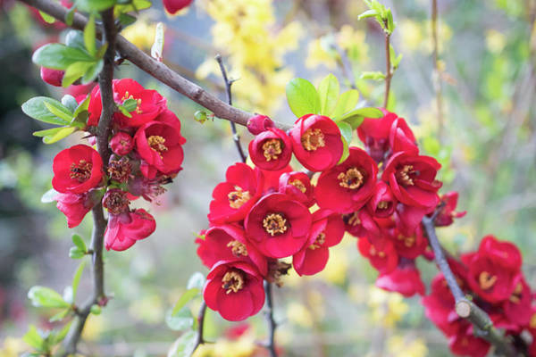 Photograph - Red Quince by Crystal Hoeveler